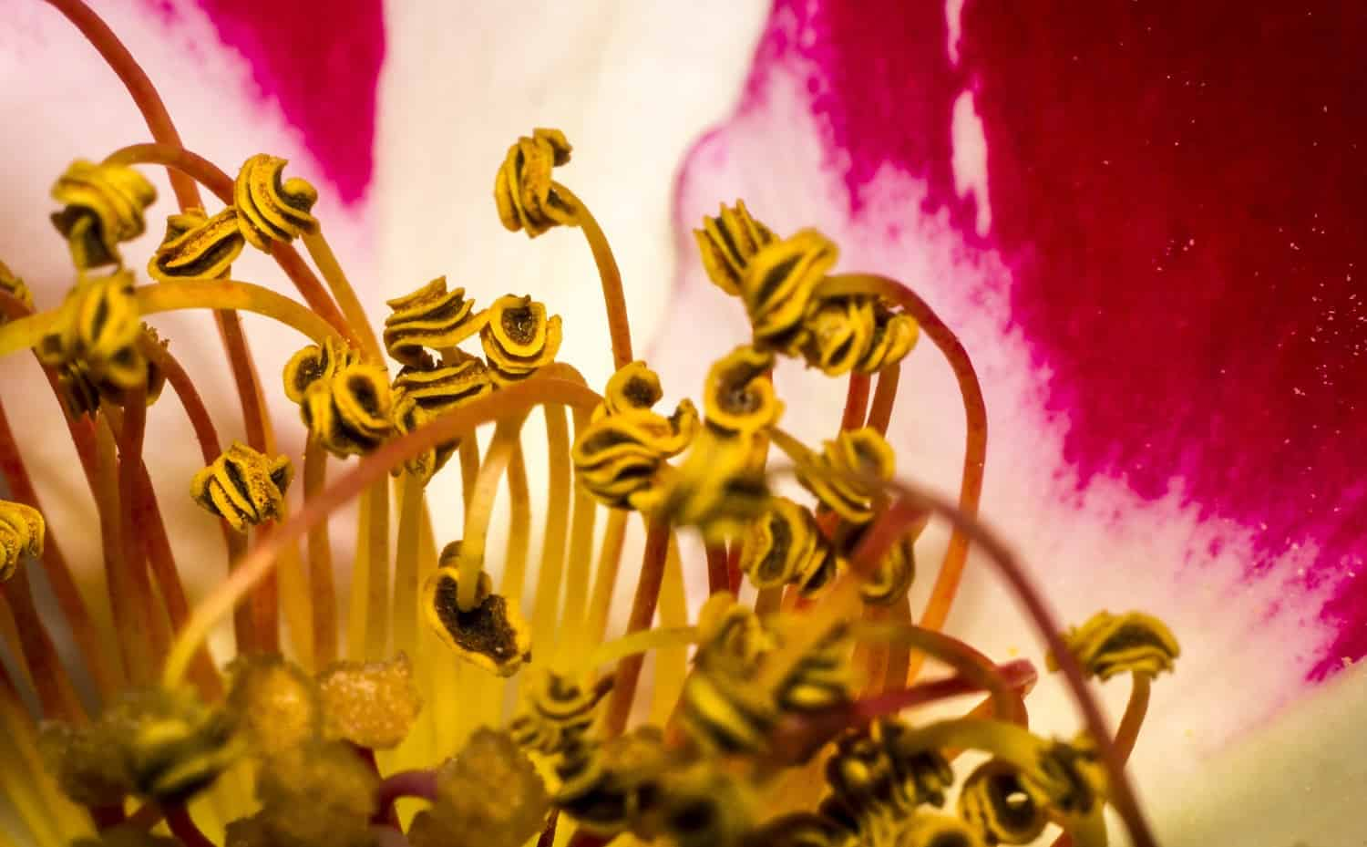 Dance Party—Yellow Stamens, Pink Petals