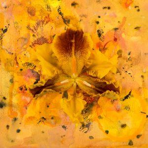 Harmonic Convergence: Orange Iris (2018), archival inkjet print on photo rage, 12 by 12 inches